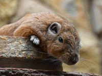 Close up portrait of African Gundi comb rat - stock photo