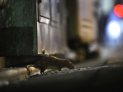 This picture taken on August 30, 2018 shows a rat in Tokyo's Shinbashi area, near the Tsukiji fish market. - After a fabled 83-year history, the world's biggest fish market, which is also a huge tourist magnet for its pre-dawn tuna auctions, will move to a brand-new facility in Toyosu, …