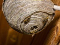 Wasps are building their nest