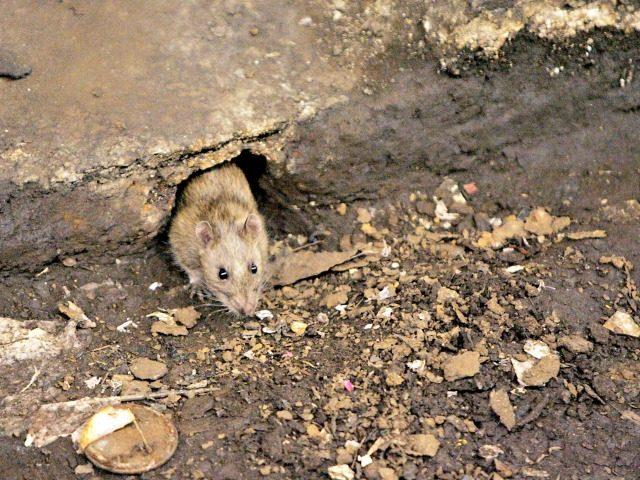 Rat problem in Baltimore