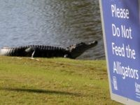 AVONDALE, LOUISIANA - APRIL 25: An alligator is seen near the seventh green during the first round of the Zurich Classic at TPC Louisiana on April 25, 2019 in Avondale, Louisiana. (Photo by Chris Graythen/Getty Images)