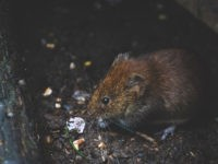 animal-bank-vole-blur-1010267