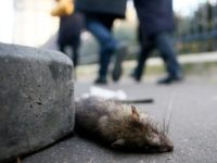 A dead rat lays on the sidewalk outside the Saint Jacques Tower park, in the center of Paris, Friday, Dec. 9, 2016. Paris is on a new rampage against rats, trying to shrink the growing rodent population. (AP Photo/Francois Mori)