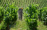French wine production hit by heatwave