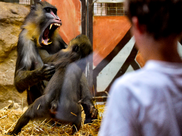 Mandrill monkeys play on July 8, 2019 at the zoological park of Amneville. (Photo by JEAN-CHRISTOPHE VERHAEGEN / AFP) (Photo credit should read JEAN-CHRISTOPHE VERHAEGEN/AFP/Getty Images)