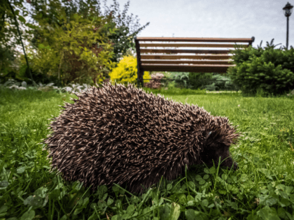 A hedgehog walks through grass in a garden outside Moscow on September 20, 2017. / AFP PHOTO / Yuri KADOBNOV (Photo credit should read YURI KADOBNOV/AFP/Getty Images)