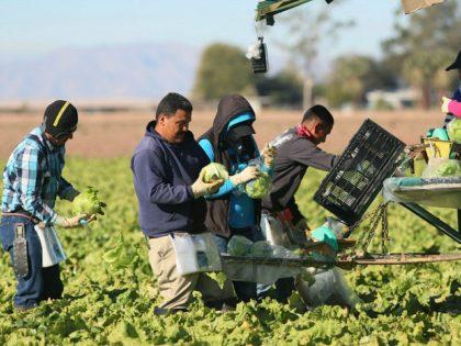 Mexican-farm-workers-harvest-outside-Brawley-California-getty-640x480