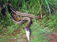 Maine garter-snake-eating-fish