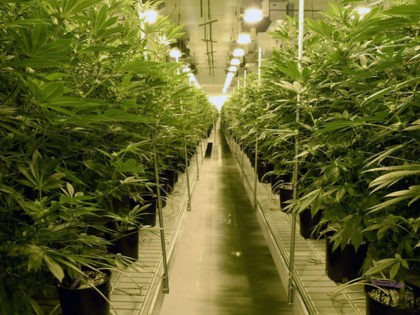 LAS VEGAS, NV - JULY 06: Marijuana plants are grown at Essence Vegas' 54,000-square-foot marijuana cultivation facility on July 6, 2017 in Las Vegas, Nevada. On July 1, Nevada joined seven other states allowing recreational marijuana use and became the first of four states that voted to legalize recreational sales …