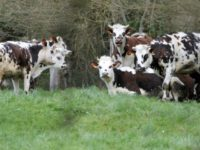 469d43_brown-white-cows-in-field-northwestern-french-village-camembert-in-normandy-640x427
