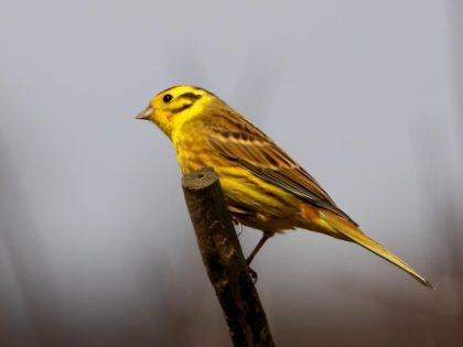The Yellowhammer bird. https://www.flickr.com/photos/24874528@N04/