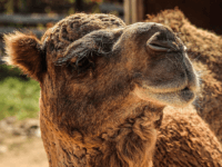 Woman Bites Camel's Testicles at Louisiana Truck Stop