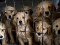 UK Govt Blocks 'Culturally Insensitive' Dog Meat Ban