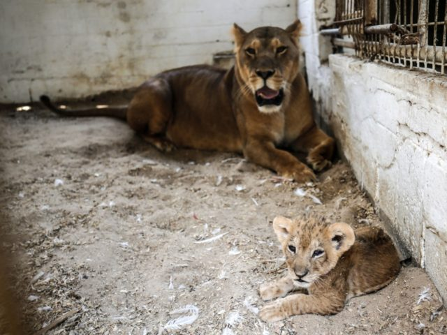 A lioness watches over one of her three recently born cub at a zoo in Rafah in the southern Gaza Strip on September 8, 2019. - The Rafah Zoo in the southern Gaza Strip was known for its emaciated animals, with the owners saying they struggled to find enough money …
