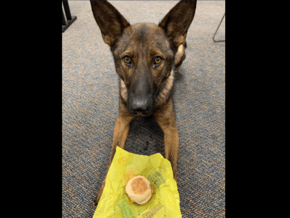 Last night K-9 Arrow assisted our neighbors in East Haven with a track to find the people that took off from one of their officers. K-9 Arrow located FOUR individuals in a marsh area. Apparently he didn't like the original #workingdogwednesday post I had in mind and had to do …