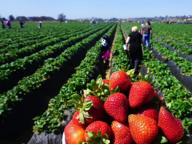 People head out to pick strawberries in Carlsbad, California on April 22, 2018. - Fresh strawberries are among the 128 US goods China has imposed tariffs on in retaliation for US tariffs on Chinese goods, worth some $50 billion, imposed last month. (Photo by FREDERIC J. BROWN / AFP) (Photo …