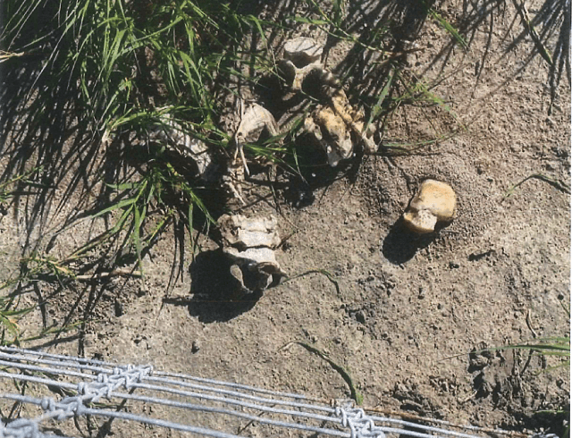Brooks County Sheriff's Office deputies recover the skeletal remains of a deceased migrant on a ranch north of the Border Patrol checkpoint. (Photo: Brooks County Sheriff's Office/Deputy Bianca Mora)