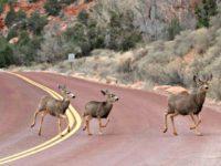 Mule deer cross a road in Zion national park in Utah, US. Photograph: Rhona Wise/AFP/Getty Images