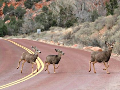 Mule deer cross a road in Zion national park in Utah, US. Photograph: Rhona Wise/AFP/Getty Images