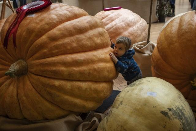 LONDON, UNITED KINGDOM - OCTOBER 2: Valentine, 2, stands amongst Pumpkins on display during the RHS (Royal Horticultural Society) Autumn Show on October 2, 2018 in London, England. Growers from across the UK come together for the show at the RHS Horticultural Halls in Westminster to exhibit their seasonable bounty …