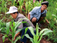 Two North Korean farmers work at a field in Unsan County in South Pyongan province 26 July 2000. North Korea is facing a severe food shortage as crops have failed in the drought and many children and adults are suffering from malnutrition. Maize growth has been drastically stunted from the …
