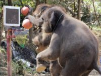 Chiang Mai, THAILAND: Elephants stand on their hind legs as the shoots hoops during a basketball performance for foreign tourists at Mae Taman Elephant Park in Chiang Mai province, northern Thailand, 22 February 2007. It was reported last year that Thailand has an estimated 4,000 elephants -- 2,500 domesticated and …
