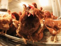 Chicken sit in coop on a organic accredited poultry farm on January 7, 2011 in Elstorf, Germany. Organic farmers across Germany are likely to benefit from the current dioxin scandal that is forcing at least 4,000 non-organic poultry, hog and other farms nationwide to suspend deliveries for the time being. …