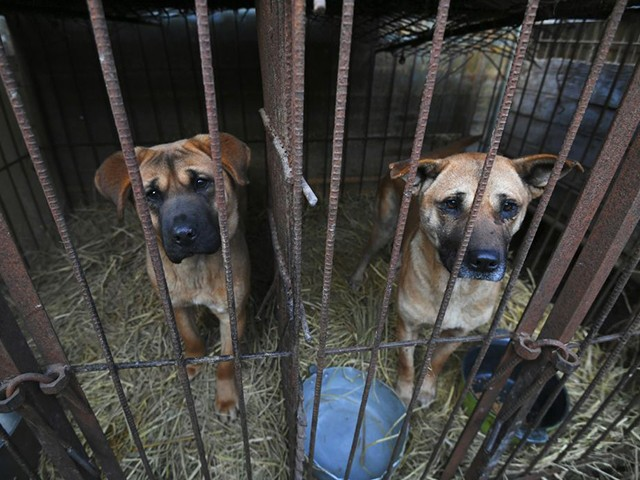 Dogs look out from a cage at a dog farm during a rescue event, involving the closure of the farm organised by the Humane Society International (HSI), in Hongseong on February 13, 2019. - This farm is a combined dog meat and puppy mill business with almost 200 dogs and puppies on site. HSI provides a solution to help dog meat farmers give up their business as a growing number of South Koreans oppose the cruelty of the dog meat industry. (Photo by Jung Yeon-je / AFP) (Photo credit should read JUNG YEON-JE/AFP/Getty Images)