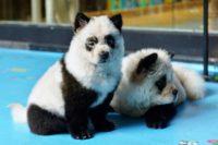 Bamboozled: 'Panda dog' cafe sparks China animal rights debate