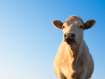 North Carolina Cows Lost During Hurricane Dorian Discovered Alive