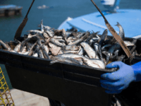 Herring is seen as it is loaded onto a lobster fishing boat at the Conary Cove Lobster Co Inc. in the Gulf of Maine on July 01, 2019 in Deer Isle, Maine. Atlantic herring, which is a baitfish most commonly used for catching lobster, is in short supply. Reports indicate …