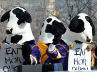 Atlanta, Georgia, USA - December 31, 2012: Famous ' Eat Mor Chikin ' cows at parade leading up to the Chick-fil-A bowl game. Event took place at the Georgia Dome with Clemson and LSU on December 31, 2012.