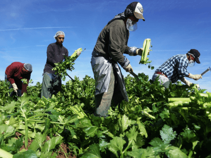 Mexican farm workers harvest celery in a field of Brawley, California, in the Imperial Valley, on January 31, 2017. Many of the farm workers expressed fears that they would not be able to continue working in the United States under the President Trump's administration. / AFP / Sandy Huffaker (Photo …