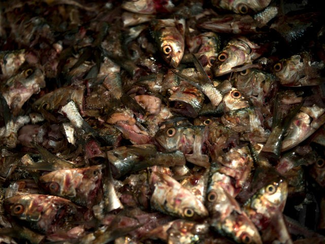 This Dec. 10, 2016 photo shows a container filled with cut up sardines at a state-owned fish market on the west side of Caracas, Venezuela. (AP Photo/Fernando Llano)