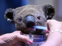 A dehydrated and injured Koala receives treatment at the Port Macquarie Koala Hospital in Port Macquarie on November 2, 2019, after its rescue from a bushfire that has ravaged an area of over 2,000 hectares. - Hundreds of koalas are feared to have burned to death in an out-of-control bushfire …