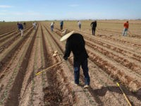 HOLTVILLE, CA - SEPTEMBER 27: Mexican farm workers hoe a cabbage field on September 27, 2016 Holtville, California. Thousands of Mexican seasonal workers legally cross the border daily from Mexicali, Mexico to work the fields of Imperial Valley, California, some of the most productive farmland in the United States. (Photo …