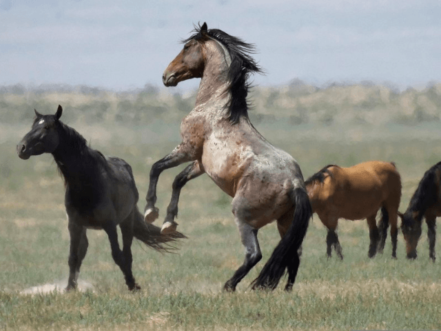 In this July 18, 2018, file photo, a wild horse jumps among others near Salt Lake City. The U.S. government is seeking new pastures for thousands of wild horses that have overpopulated Western ranges. Landowners interested in hosting large numbers of rounded-up wild horses on their property can now apply …