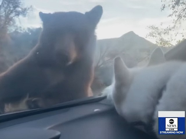 Dangerously Cute: Dog and Bear Nose to Nose in Unexpected Car Encounter