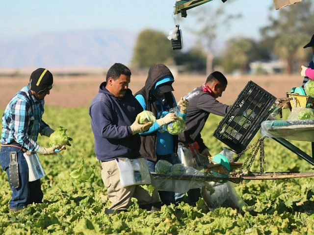 Mexican-farm-workers-harvest-outside-Brawley-California-getty-640x480 (1)