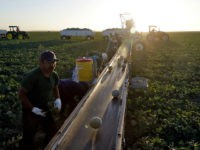 FILE- In this Sept. 18, 2018, file photo, farmworkers pick melons in the early morning hours in Huron, Calif. On Thursday, Dec. 6, the Labor Department issues revised data on productivity in the third quarter. (AP Photo/Marcio Jose Sanchez, File)