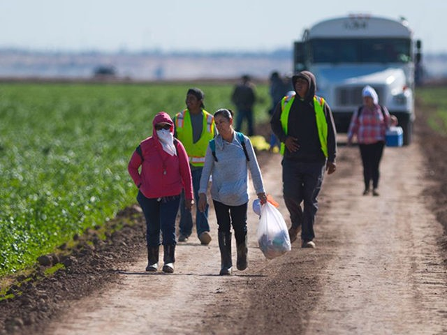 Temporary agricultural workers walk off a lettuce farm at the end of their shift outside Yuma, Arizona, on February 15, 2017.