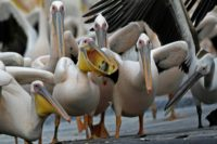 Israeli fish farmers give peckish pelicans free lunch
