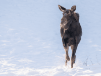 Vermont Moose Saved from Railroad Tracks