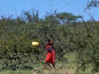 TOPSHOT - Invading locusts spring into flight from ground vegetation as young girls in traditional Samburu-wear run past to their cattle at Larisoro village near Archers Post, on January 21, 2020. - The outbreak of desert locusts, considered the most dangerous locust species, is significant and extremely dangerous warned the …