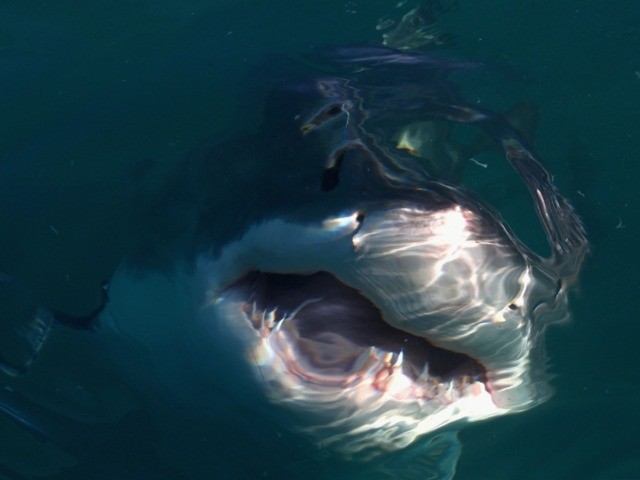 GANSBAAI, SOUTH AFRICA - JULY 08: A Great White Shark swims in Shark Alley near Dyer Island on July 8, 2010 in Gansbaai, South Africa. (Photo by Ryan Pierse/Getty Images)