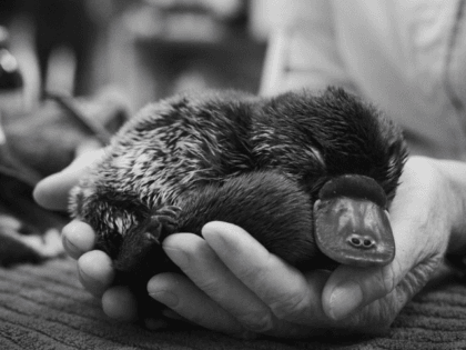This is 'Ollie' the platypus, patient 90,000 at the @AustraliaZoo Wildlife Hospital. 16 years providing 24/7 rehabilitation & animal rescue. So proud of this world-class facility. Thanks for your support with these extreme bushfires, wildlife need our help now more than ever.