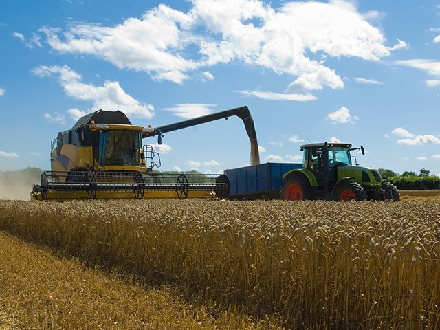 Thresher harvesting wheat.