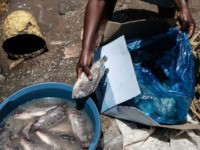 This photograph taken on October 2, 2018, shows a woman putting an imported tilapia from China into water to defrost at the municipal fish market in Kisumu, western Kenya. (Photo by Yasuyoshi CHIBA / AFP) (Photo credit should read YASUYOSHI CHIBA/AFP via Getty Images)