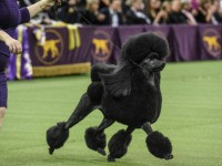 WNEW YORK, NY - FEBRUARY 11: A Standard Poodle named Siba wins Best in Show during the annual Westminster Kennel Club dog show on February 11, 2020 in New York City. The 144th annual Westminster Kennel Club Dog Show brings more than 200 breeds and varieties of dog into New …