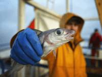 NORTH ATLANTIC OCEAN - MARCH 3: A Scottish trawler man aboard the trawler, Carina, holds out a haddock, part of the catch caught some 70 miles off the North coast of Scotland, in The North Atlantic on March 5, 2004. Fishing boats operating out of the UK are constantly fighting …